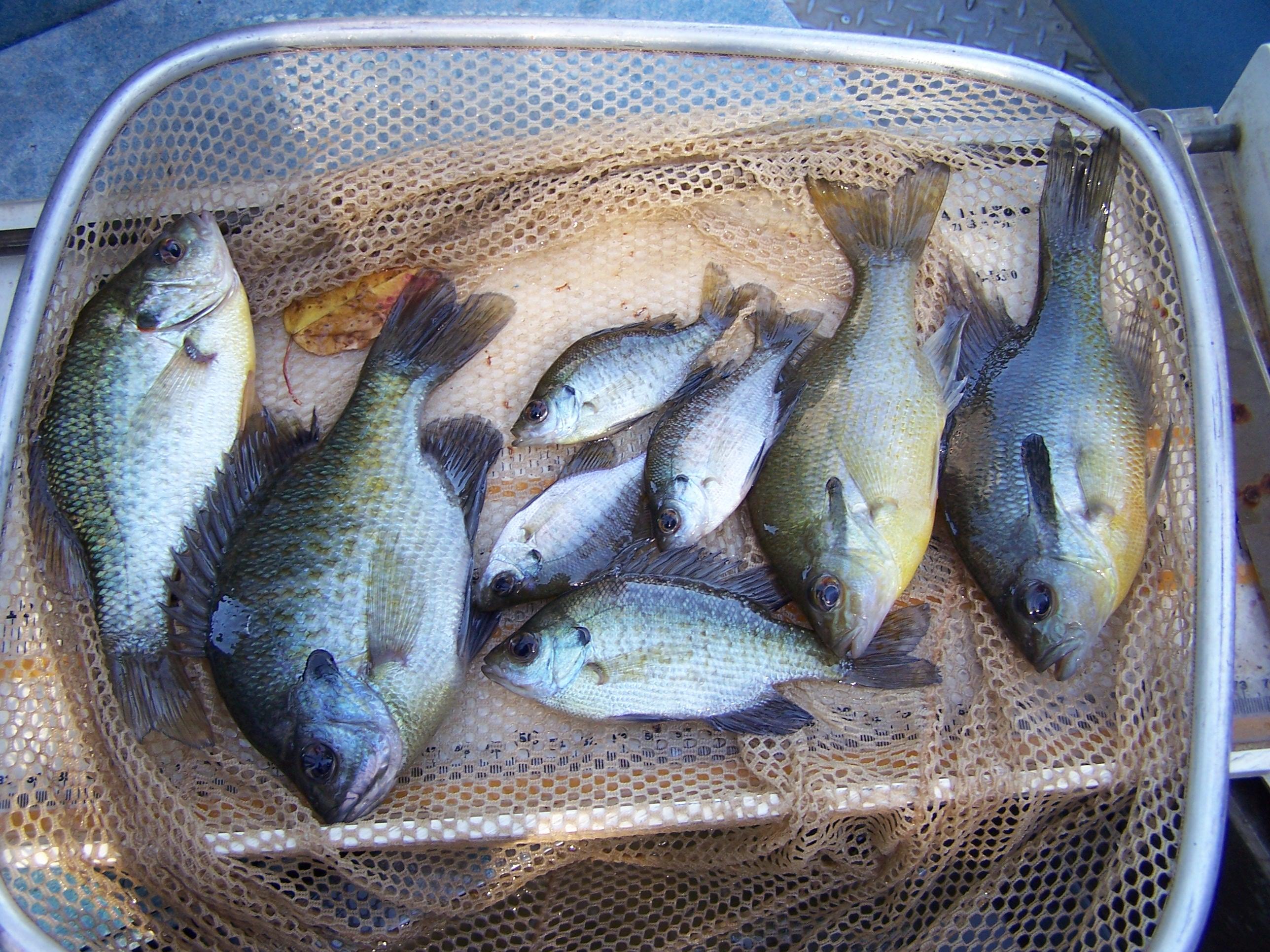 Bluegill fishing iron cooker blog for Blue gill fishing